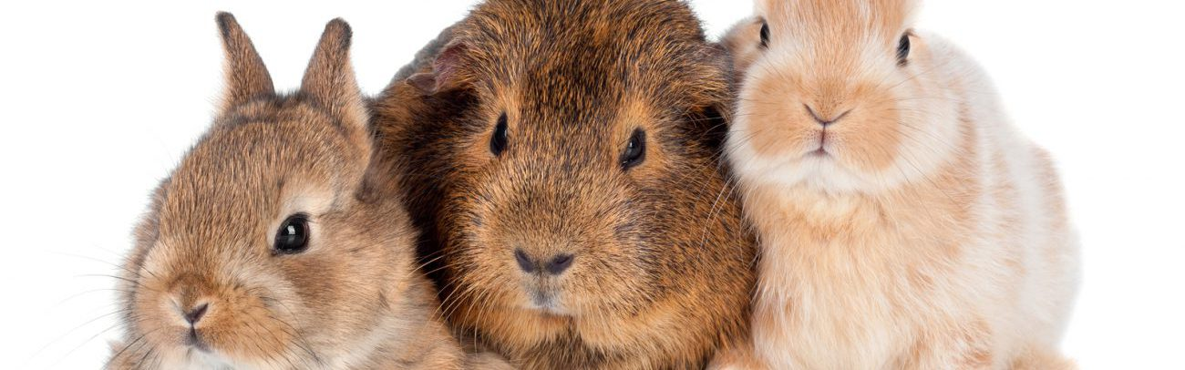 bigstock-two-baby-rabbits-and-a-guinea-44348287-e1488185272808
